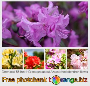 images free photo bank tOrange offers free photos from the section:  azalea-rhododendron-flower