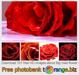 Image bank tOrange offers free photos from the section:  big-rose-flower