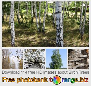 Image bank tOrange offers free photos from the section:  birch-trees