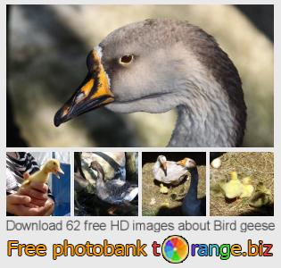 images free photo bank tOrange offers free photos from the section:  bird-geese
