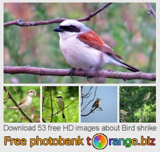 Image bank tOrange offers free photos from the section:  bird-shrike
