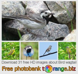 images free photo bank tOrange offers free photos from the section:  bird-wagtail