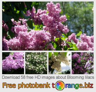 Image bank tOrange offers free photos from the section:  blooming-lilacs