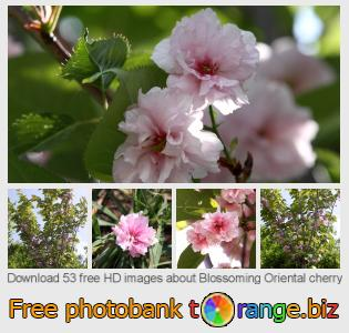 Image bank tOrange offers free photos from the section:  blossoming-oriental-cherry