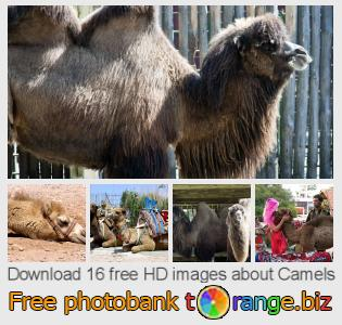 images free photo bank tOrange offers free photos from the section:  camels