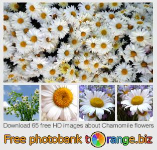 images free photo bank tOrange offers free photos from the section:  chamomile-flowers