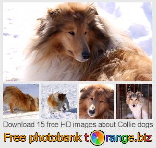 Image bank tOrange offers free photos from the section:  collie-dogs