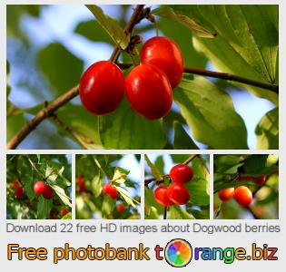 images free photo bank tOrange offers free photos from the section:  dogwood-berries