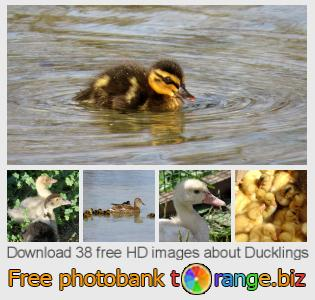 images free photo bank tOrange offers free photos from the section:  ducklings