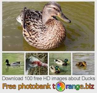 images free photo bank tOrange offers free photos from the section:  ducks