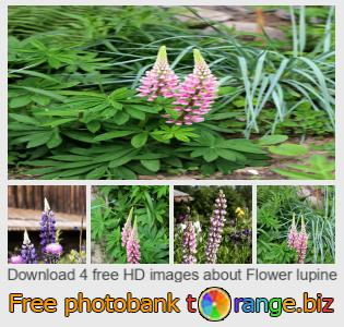 Image bank tOrange offers free photos from the section:  flower-lupine