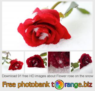 images free photo bank tOrange offers free photos from the section:  flower-rose-snow