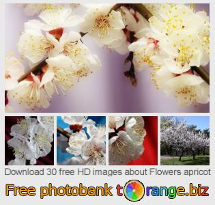Image bank tOrange offers free photos from the section:  flowers-apricot
