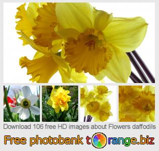 Image bank tOrange offers free photos from the section:  flowers-daffodils