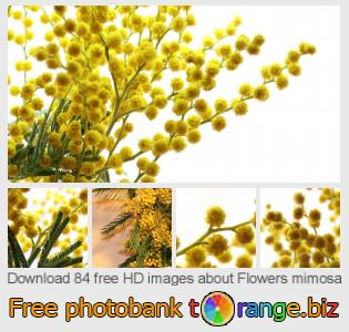 Image bank tOrange offers free photos from the section:  flowers-mimosa