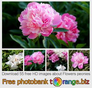 Image bank tOrange offers free photos from the section:  flowers-peonies