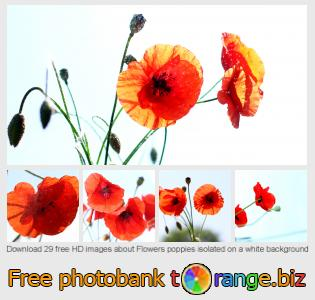 images free photo bank tOrange offers free photos from the section:  flowers-poppies-isolated-white-background