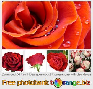 images free photo bank tOrange offers free photos from the section:  flowers-rose-dew-drops