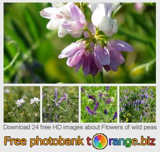 images free photo bank tOrange offers free photos from the section:  flowers-wild-peas