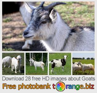 images free photo bank tOrange offers free photos from the section:  goats