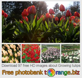 images free photo bank tOrange offers free photos from the section:  growing-tulips