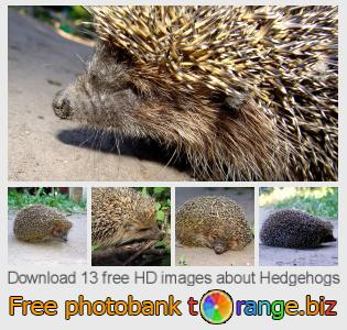 images free photo bank tOrange offers free photos from the section:  hedgehogs