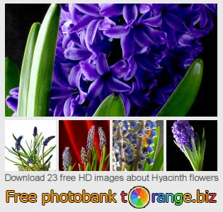 images free photo bank tOrange offers free photos from the section:  hyacinth-flowers