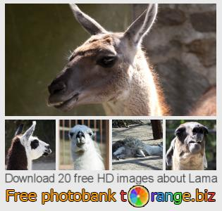 images free photo bank tOrange offers free photos from the section:  lama