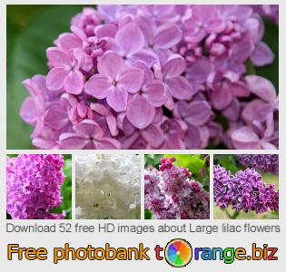 images free photo bank tOrange offers free photos from the section:  large-lilac-flowers