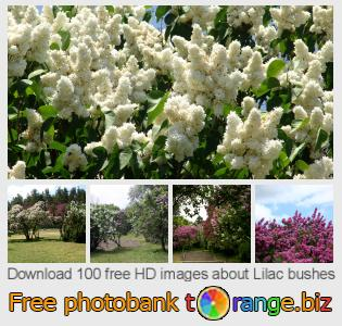 Image bank tOrange offers free photos from the section:  lilac-bushes