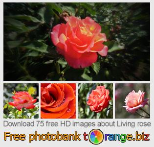 Image bank tOrange offers free photos from the section:  living-rose