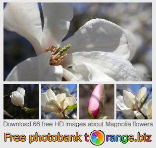 images free photo bank tOrange offers free photos from the section:  magnolia-flowers