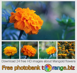 images free photo bank tOrange offers free photos from the section:  marigold-flowers