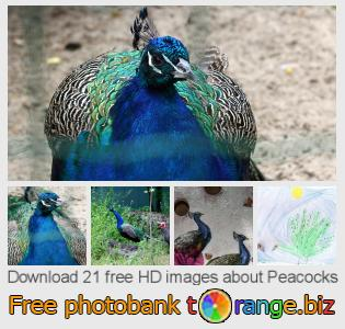 images free photo bank tOrange offers free photos from the section:  peacocks