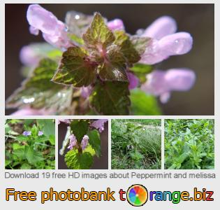 Image bank tOrange offers free photos from the section:  peppermint-melissa