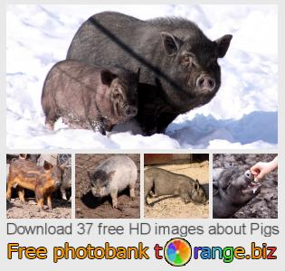images free photo bank tOrange offers free photos from the section:  pigs