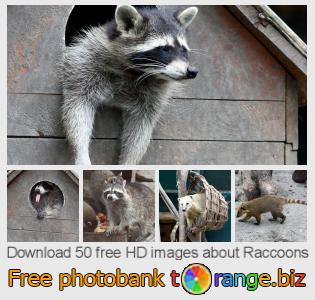 images free photo bank tOrange offers free photos from the section:  raccoons