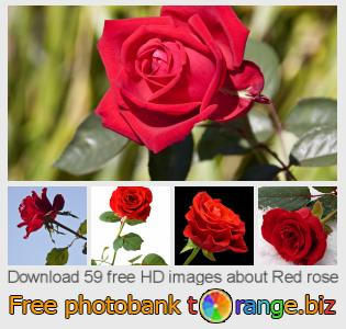Image bank tOrange offers free photos from the section:  red-rose