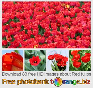 images free photo bank tOrange offers free photos from the section:  red-tulips