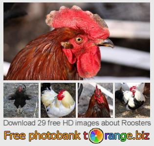 images free photo bank tOrange offers free photos from the section:  roosters