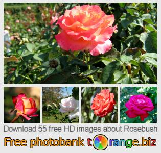 images free photo bank tOrange offers free photos from the section:  rosebush