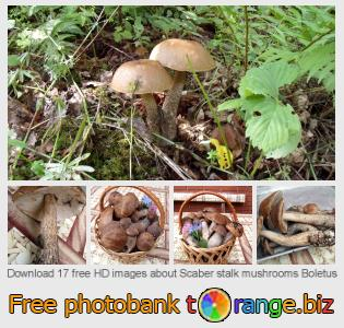 images free photo bank tOrange offers free photos from the section:  scaber-stalk-mushrooms-boletus