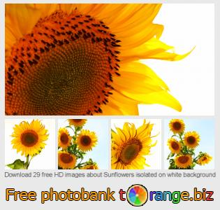 Image bank tOrange offers free photos from the section:  sunflowers-isolated-white-background