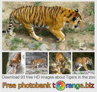 Image bank tOrange offers free photos from the section:  tigers-zoo