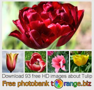 Image bank tOrange offers free photos from the section:  tulip