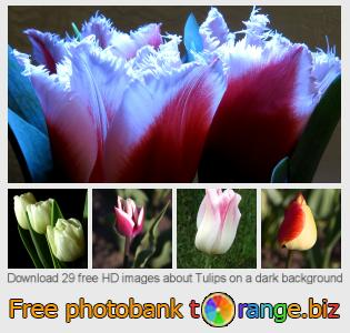 Image bank tOrange offers free photos from the section:  tulips-dark-background
