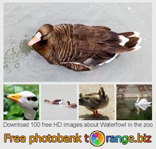 images free photo bank tOrange offers free photos from the section:  waterfowl-zoo