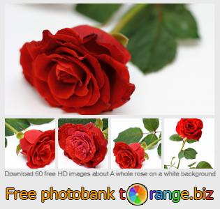 Image bank tOrange offers free photos from the section:  whole-rose-white-background
