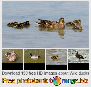 images free photo bank tOrange offers free photos from the section:  wild-ducks