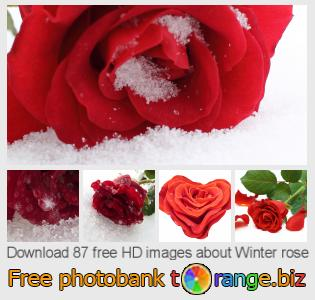 images free photo bank tOrange offers free photos from the section:  winter-rose